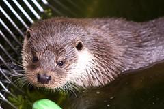 Saukko uimassa (MikkoH77) Tags: water vesi korkeasaari lutralutra europeanotter saukko