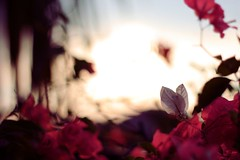(priska febrinia) Tags: flower sunrise bokeh weekend reddishpink magicallight visiongroup vision100