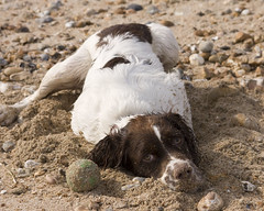 time to sunbathe (Marinsdad) Tags: beach wet stone ball puppy nose eos sand play hayling sigma pebble soggy damp englishspringerspaniel 2470 40d