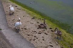 IMG_8007 (christophemurphy) Tags: swans tring