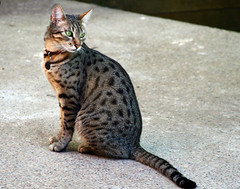 Egyptian Mau by Muffet, on Flickr