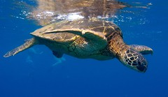 getting some sun (bluewavechris) Tags: ocean blue sea brown green water animal hawaii marine underwater turtle reptile shell diving maui snorkeling fin flipper