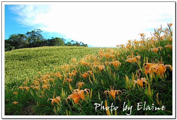 赤柯山盛開的金針花