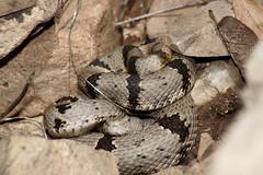 DSC03490 (Manrus) Tags: arizona nature minolta snake sony alpha amphibians snakes reptiles herps serpents invertibrates serpentes southeastarizona herping herptiles skyislands dslra700 mikejewel taxonomy:common=bandedrockrattlesnake taxonomy:trinomial=crotaluslepidusklauberi