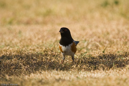 Spotted Towhee (2 of 2)
