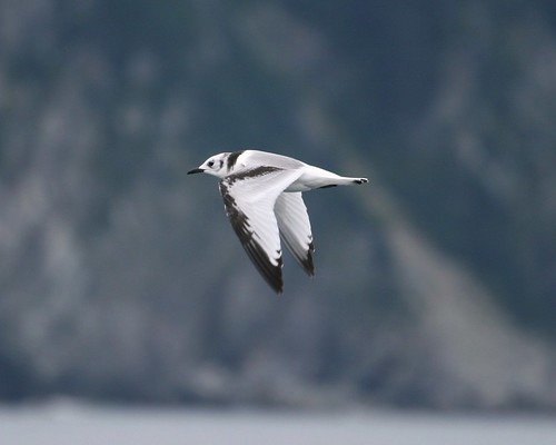 Juvenile Black-legged Kittiwake