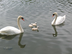 Freaking Adorable (bettiemagazine) Tags: cute swans cygnets animalbabies