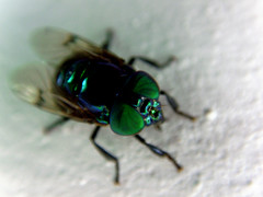 (luiz_berticelli) Tags: green insect olhos inseto mosca podre varejeira
