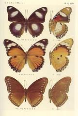 papillon 32