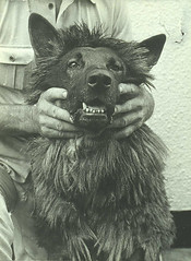 Reference print for 'Hound of the Baskervilles' (National Media Museum) Tags: hairy dog teeth hound snarl baskervilles arthurconandoyle nationalmediamuseum