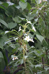 Bridal Wreath (Plumeria Pudica) (cliff1066) Tags: flowers trees plants mall washingtondc smithsonian dc washington districtofcolumbia plumeria district exhibition institute wreath species endangered bridal botanicgarden rare herbal medicinal usbotanicgarden nationalbotanicgarden homeopathic pudica unitedstatesbotanicgarden ethnobotanical bridalwreath plumeriapudica annualplant allopathic