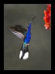 Violet Sabrewing Hummingbird (Alfredo11) Tags: flowers blue light motion black flores flower bird nature animal azul luces fly nikon hummingbird little background negro flor wing violet movimiento ave ala capture tone pequeo violeta pjaro tono vuelo colibr plumage captura morado picaflor plumaje nauraleza