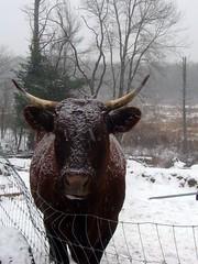 My cranky cow