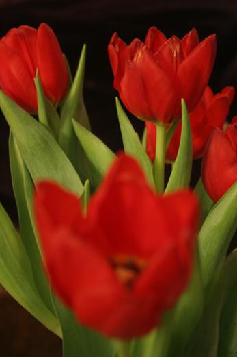23_decembre_2008_tulipes_1186