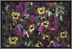"""""""But what if I don't win?"""", my daughter often asks.  I say """" The most important part is that you show up.  Your presence is what matters."""""""" (Ginny Griffin) Tags: show texture up is purple experiment part most framing pansies important the wonderfulworldofflowers"""