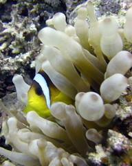 Anemone / Clown fish (mattk1979) Tags: fish underwater clown dahab redsea egypt scuba diving anemone sinai gulfofaqaba ricksreef