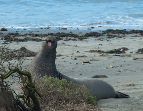 Male Northern Elephant Seal Vocalizing