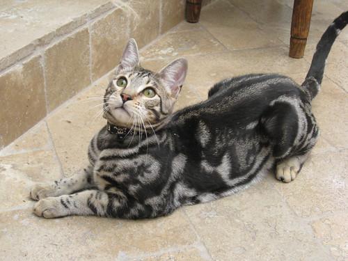 gambar kucing savanna