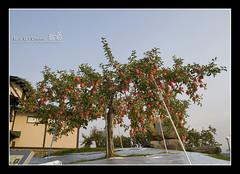 200810_hirosaki_062_f_s (C_C_C) Tags: tree apple japan hirosaki