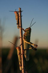 Manganeta (LeoCampon) Tags: campo córdoba 2009 langosta acrididae plaga tucura