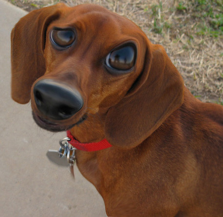 close-up of face of a dog whose eyes are bulbous and comical; the image has been edited with Photoshop