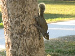 Squirrel on a Tree (Patrick Conan Doyle) Tags: tree tampa squirrel florida critter wildlife goldwildlife goldstaraward