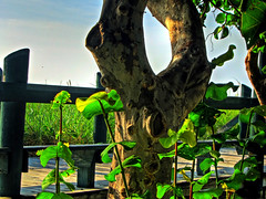 Character (nobleup Coming Back Slowly) Tags: morning light shadow sky plants tree texture beach nature character bark boardwalk lush sprouts hdr knothole seaoats jettypark tonemapping fortpierceflorida gnarlyoldtree nobleup saintluciecountyf