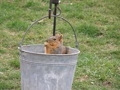 Squirrelly2 (boisebluebird) Tags: pets animals fun backyard squirrel squirrels boise critters rodents michaeltoolson boisebluebird boisebluebirdcom httpwwwboisebluebirdcom boiselandscaping boisegardener