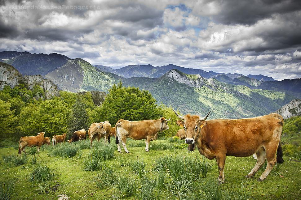 Asturiana de las montañas
