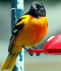 Confused bird #1 (114berg) Tags: bird yard canon lens bath hummingbird cardinal front baltimore bluejay feeders tamron oriole 60d 18270mm 26may11
