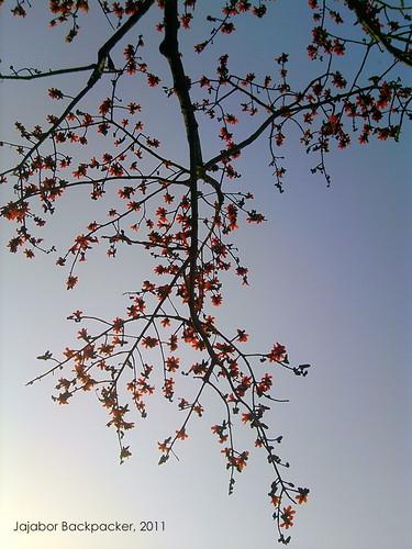 শিমুল (Shimul)