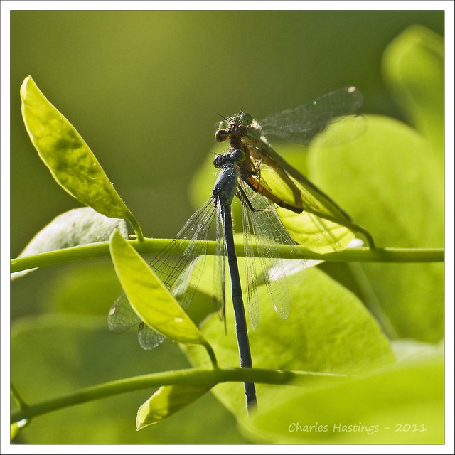 Damselfly Threesome?