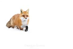 On The Move (Megan Lorenz) Tags: winter wild snow ontario canada nature wildlife fox wildanimals redfox mlorenz meganlorenz