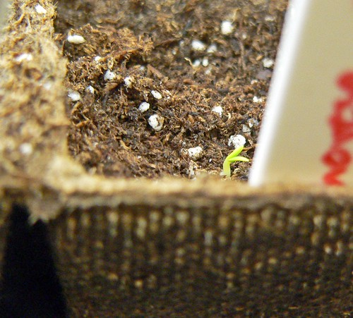 Itty bitty basil!