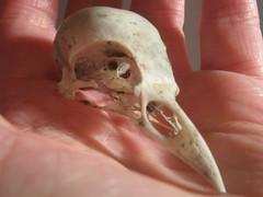 06_03_08 010 birdskull