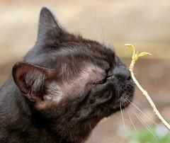 Spring is coming! (suzalayne) Tags: pets flower cat britishshorthair sampson blacksmoke kissablekat diamondclassphotographer ilovemypic perfectphotographeraward