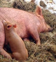 Better late than never! (LisaNH) Tags: baby heritage pig outdoor farm nh explore slowfood piglet hog minerva humane tamworth mbd pastured i500 grassfed albc mackhillfarm dilomar08 humanelyraised growfood arkoftaste