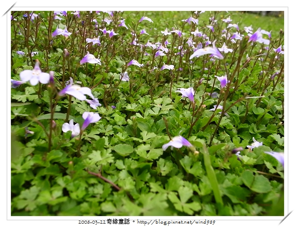 R0013260通泉草