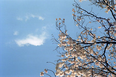 Cherry Blossom under the Blue sky