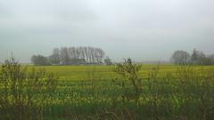 Rainy day. It's springtime! (magellano) Tags: panorama tree field yellow germany landscape deutschland rainy campo sylt albero pioggia paesaggio germania schleswigholstein rapeseed primtemps piovoso