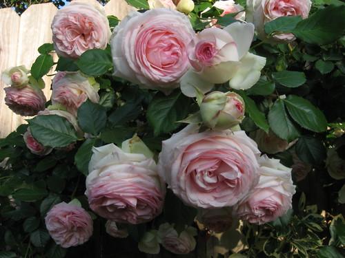 roses4-30 014