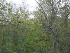 i saw an oriole (giolou) Tags: trees bird outdoors farm dive oriole plummet orangestreak
