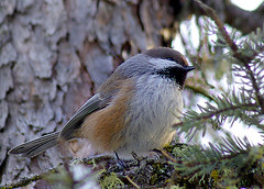 Boreal Chickadee1 (Roland.303) Tags: pentax chickadee boreal