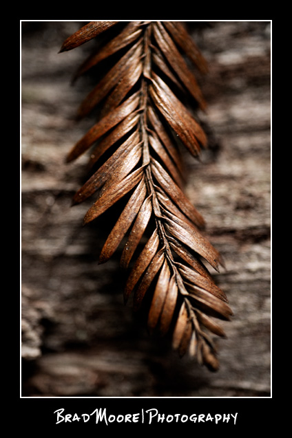 Redwoods_Leaf