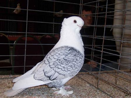 Oriental Frill Pigeons for Sale http://www.pigeons.biz/forums/f13/satinette-33698.html