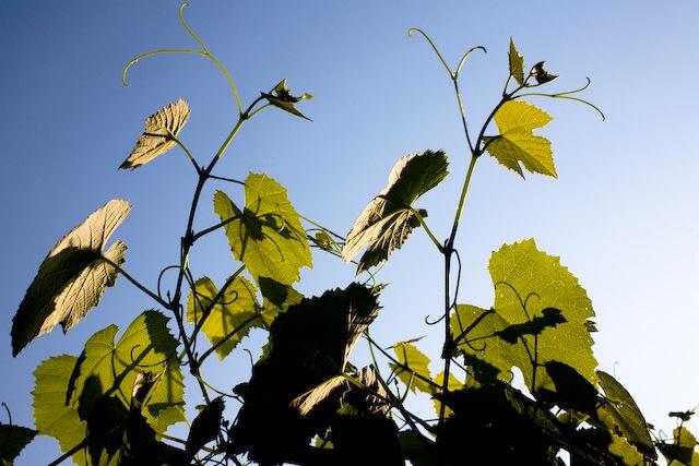 Grape vines in the sun
