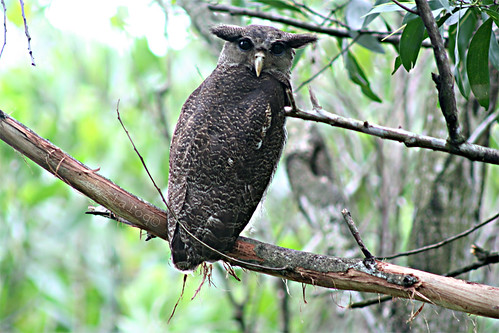 Burung Hantu Jalur @  Barred Eagle Owl