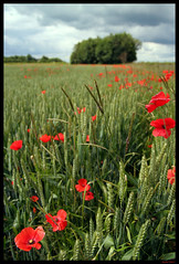 Poppies (fen_snapz) Tags: poppies poppy fordham cambs field landscape dof rachelslater fensnapz uk england fenny remembranceday armisticeday lestweforget copyrightofrachelslaterakafensnapzdonotcopyorreproduceinanywaywithoutmywrittenpermission