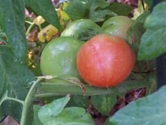 tomatoes ripening, 6/22