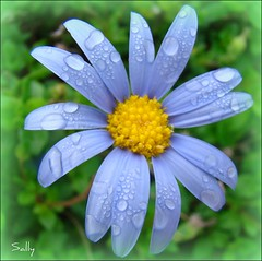 Still raining...... (sallysue007) Tags: blue macro green daisy shiningstar naturesfinest bloomingflowers supershot imagepoetry flickrsbest fantasticflower mywinnerstrophy diamondheart platinumphoto impressedbeauty platinumaward theunforgetablepicture theunforgettablepictures florotica brillianteyejewell goldsealofquality flickrsfantasticflowers betterthangood goldstaraward excapturemacro extraordinarycapturemacroaward empyreamflowers multimegashot